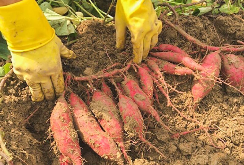 Kon Tum: Hiệu quả từ mô hình trồng khoai lang Nhật Bản